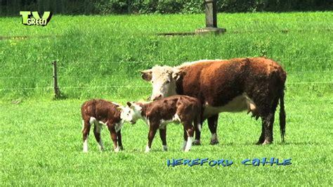 hereford cattle hereford cattle calves youtube