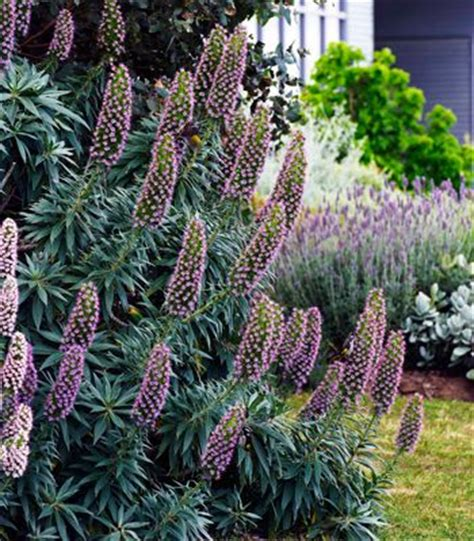 shrub with purple cone shaped flowers purple flowers water wise and bees on