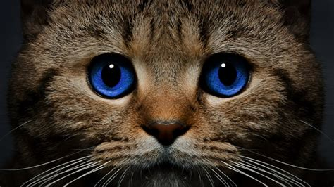 imagenes para fondo de pantalla gatos ojos azules del gato bigote fondos de pantalla hd