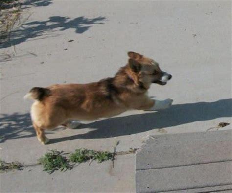 augie puppies for sale breeds pembroke corgi augie corgis breeds picture