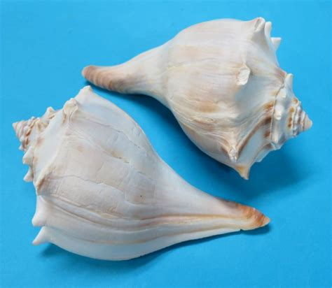 Knobbed Whelk Facts by 5 6 Atlantic Whelk Shells Wholesale