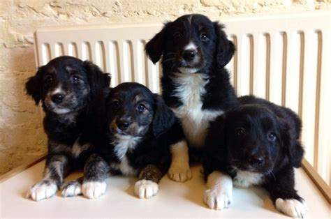 golden retriever x border collie puppies golden retriever x border collie puppies melton mowbray leicestershire pets4homes