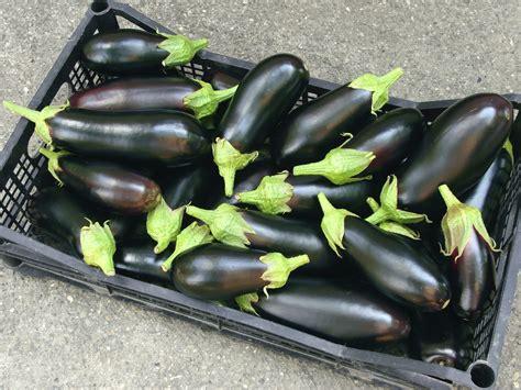 come coltivare le in vaso come coltivare le melanzane non sprecare