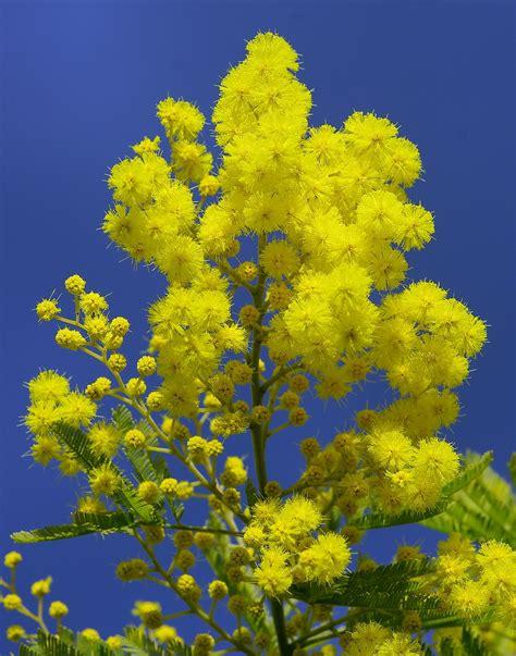 Mimose Pflanze Kaufen 1669 mimose pflanze kaufen mimose 39 gaulois astier 39 acacia
