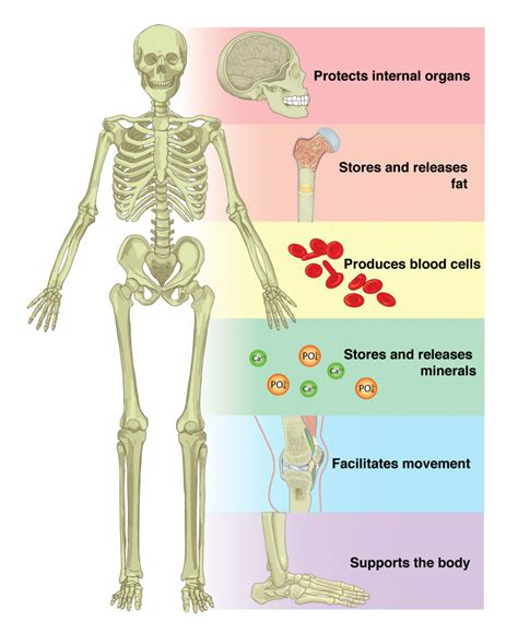 skeletal system 6 1 the functions of the skeletal system anatomy physiology