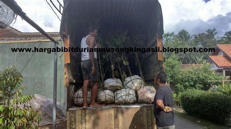 Bibit Durian Musang King Di Malang bibit durian musang king asli bibit durian musang king