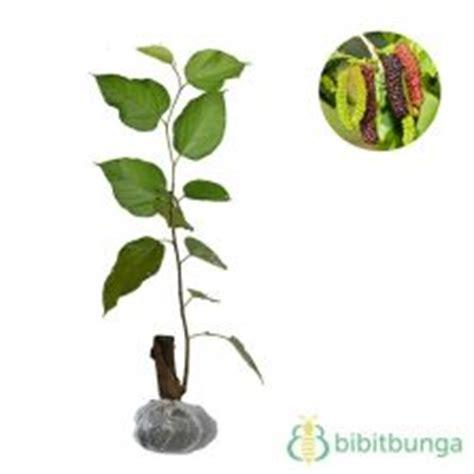 Bibit Tanaman Arbei tanaman murbei besaran bibitbunga