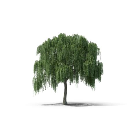 Willow Tree PNG Images & PSDs for Download PixelSquid S105796691