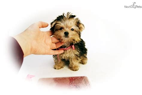 baby yorkies for sale in houston tx yorkie tiny teacup is a terrier for sale