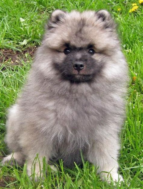 keeshond puppy keeshond pictures posters news and on your pursuit hobbies interests and