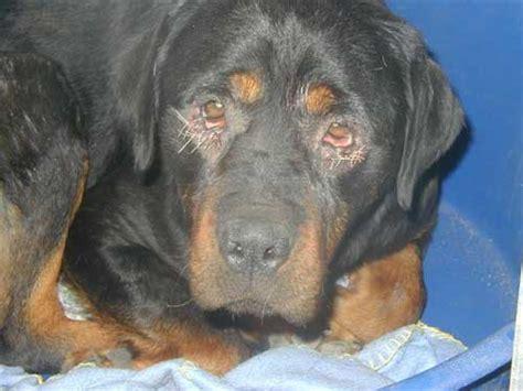 rottweiler eye infections german shepherd puppies for sale german shepherd breeders
