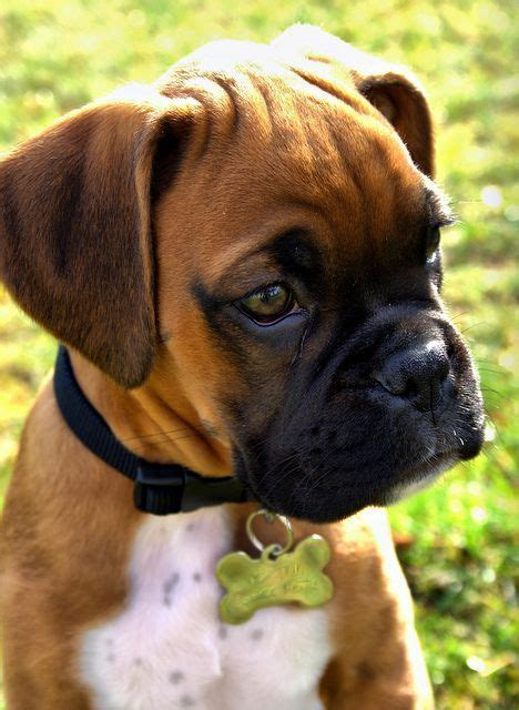 family friendly dogs 10 most family friendly breeds boxers boxers a month pets and puppys