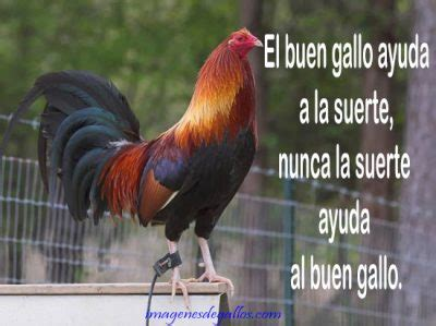 frases para gallos de rias frases y dichos de galleros imagenes de gallos