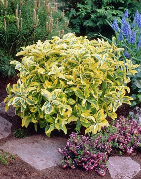 17 best ideas about shrubs for shade on pinterest shade landscaping plants for shade and