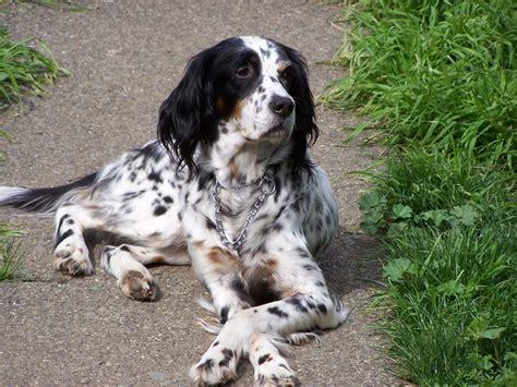setter dog rescue 218 best setters images on pinterest english setters