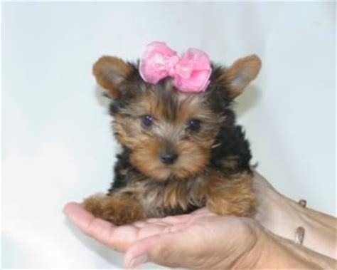 yorkie puppy scams scam warning pedigree terrier in dogs puppies for sale