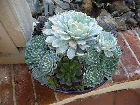 Succulent Container Gardens by Container Garden Succulents