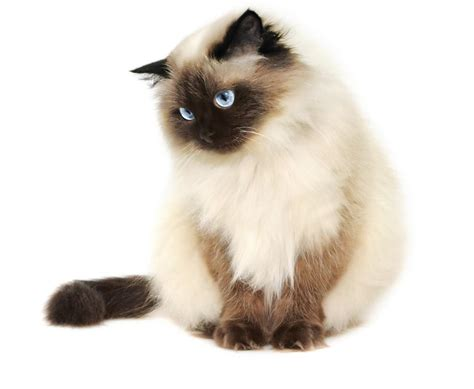 Awesome Information About the Very Adorable Himalayan Cats
