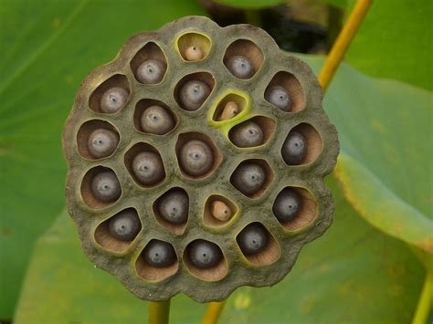If Your Friend Shared That Lotus Seed Post, Do Them A ... Lotus Pod Skin Disease