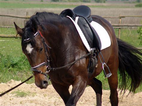 horse saddle helping to fund a study into saddle slipping on horses
