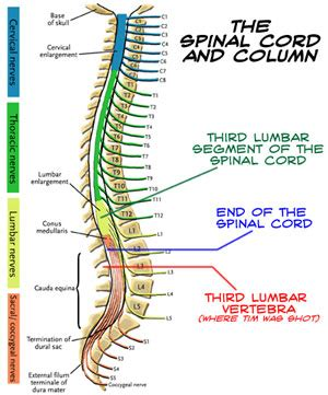 diagram of the spine and nerves photos lumbar vertebrae anatomy diagram charts