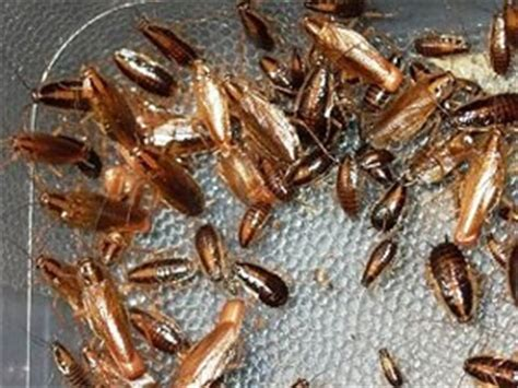 how do roaches get in your house how do you get rid of roaches in your home