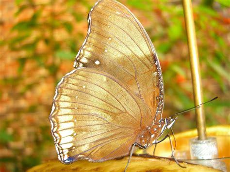wallpaper gold butterfly beautiful butterflies butterflies wallpaper 9481741
