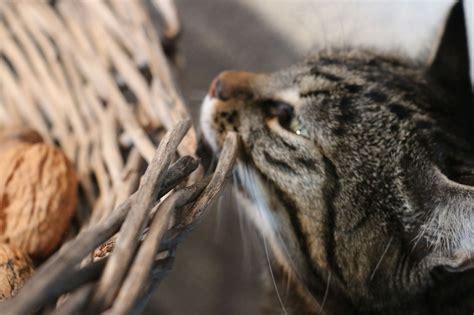 alimenti velenosi per gatti 11 alimenti comuni tossici per i nostri gatti