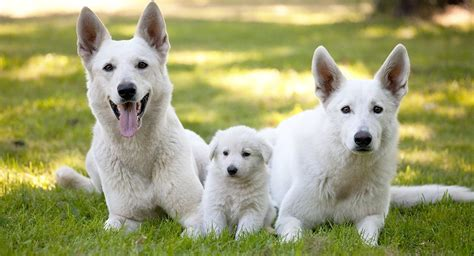 all white german shepherd puppies white german shepherd breed a complete guide