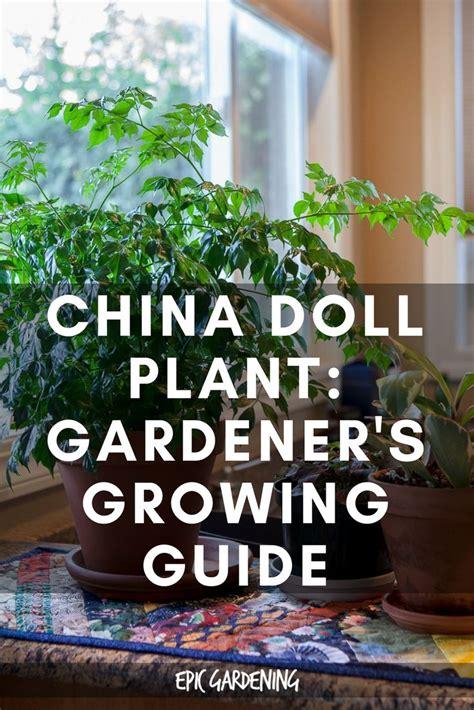 china doll houseplant china doll plant radermachera sinica growing guide