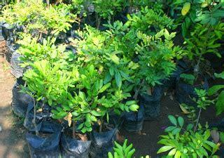 Bibit Kelengkeng Nganjuk bibit tanaman murah januari 2014