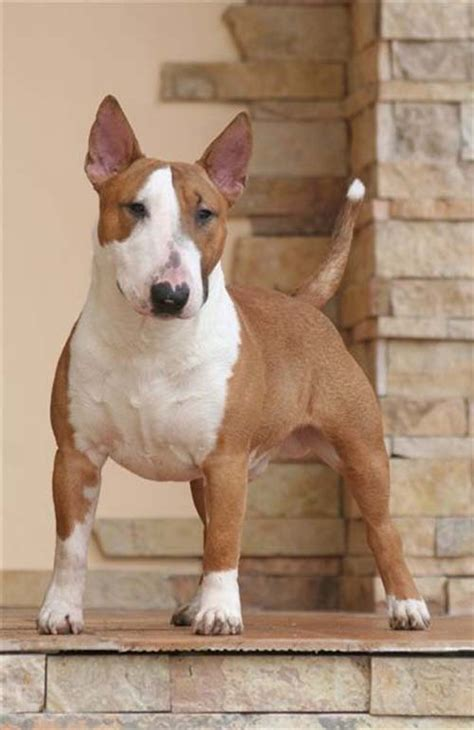mini bull terrier puppies dier miniature bull terriers