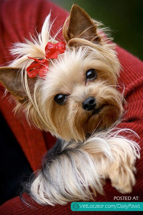 hair bows for yorkies yorkie with bow breeds picture