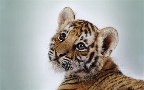 cute tiger cub wallpapers hd wallpapers id