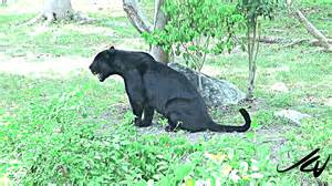 Vs Jaguar Fight Evil Town Photos Evil Town Images Ravepad The Place
