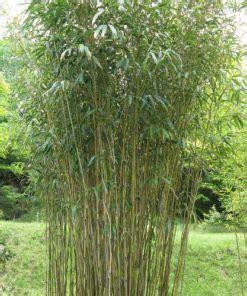 jual tanaman bambu jepang japanese arrow bamboo