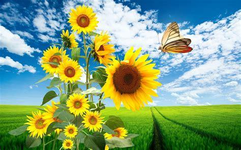 wallpaper hd bunga matahari sun flowers butterfly nature wallpapers sun flowers