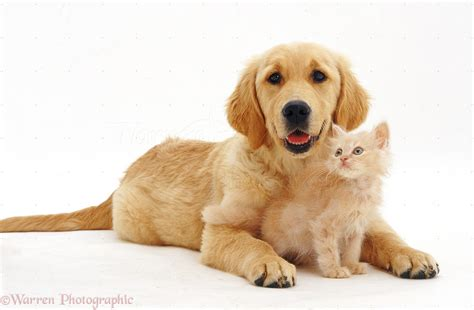 pale golden retriever pets golden retriever pup with pale kitten photo wp32136