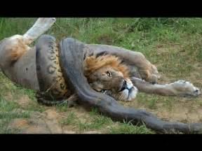 Do Jaguars Eat Pythons Anaconda Vs Felidae Python Vs Anaconda Vs