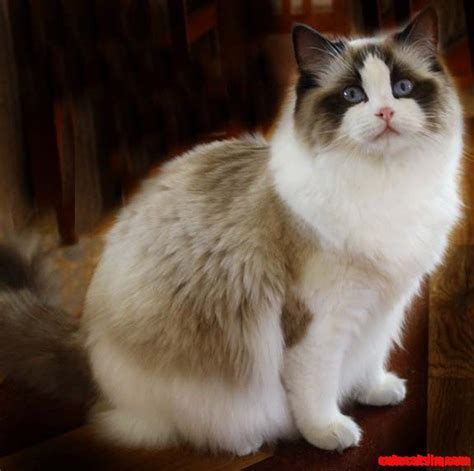 A cuty ragdoll Cat.   Cute cats HQ Free pictures of funny