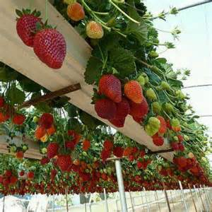 hanging strawberry plants gardening