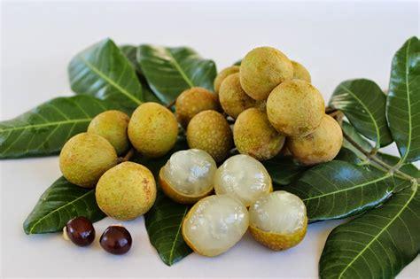 Bibit Kelengkeng Cangkok cara budidaya kelengkeng agar cepat berbuah lebat dan
