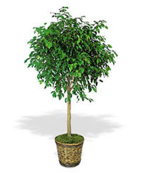 Artificial Trees Home Decor by Ficus Benjamina Tree Quotes