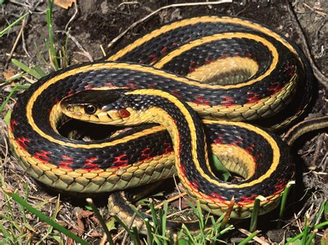 Garter Snake Oregon by It S Don T Get By Myths About Snakes
