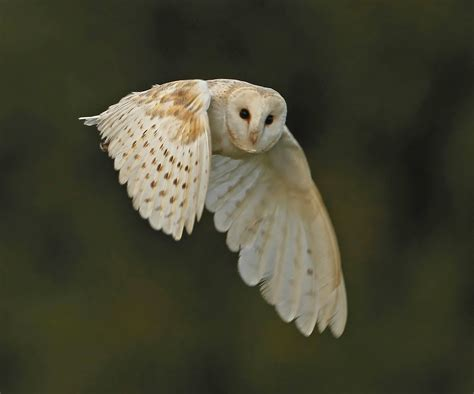barn owl facts pictures diet breeding habitat