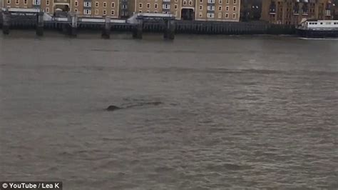 loch ness in thames second loch ness monster video swimming in the thames