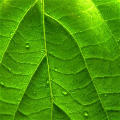 wallpaper daun coklat gambar gambar daun yang alami dan sangat indah wallpaper
