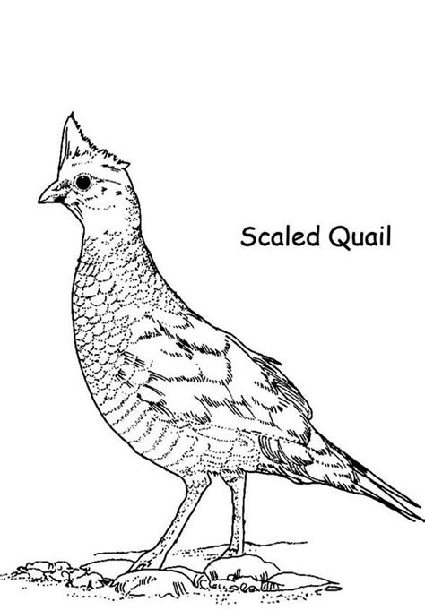 Coloring Page Quail by Scaled Quail Coloring Page Color