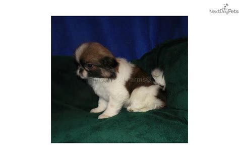 japanese chin puppies for sale near me fannie akc japanese chin puppy for sale near fayetteville arkansas d2d9c189 0ce1