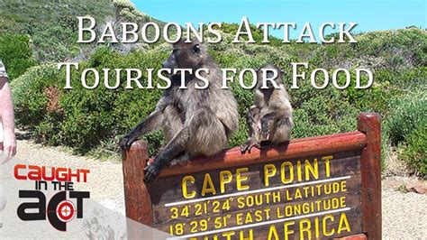 baboons attack cape of cape baboons attack tourists for food